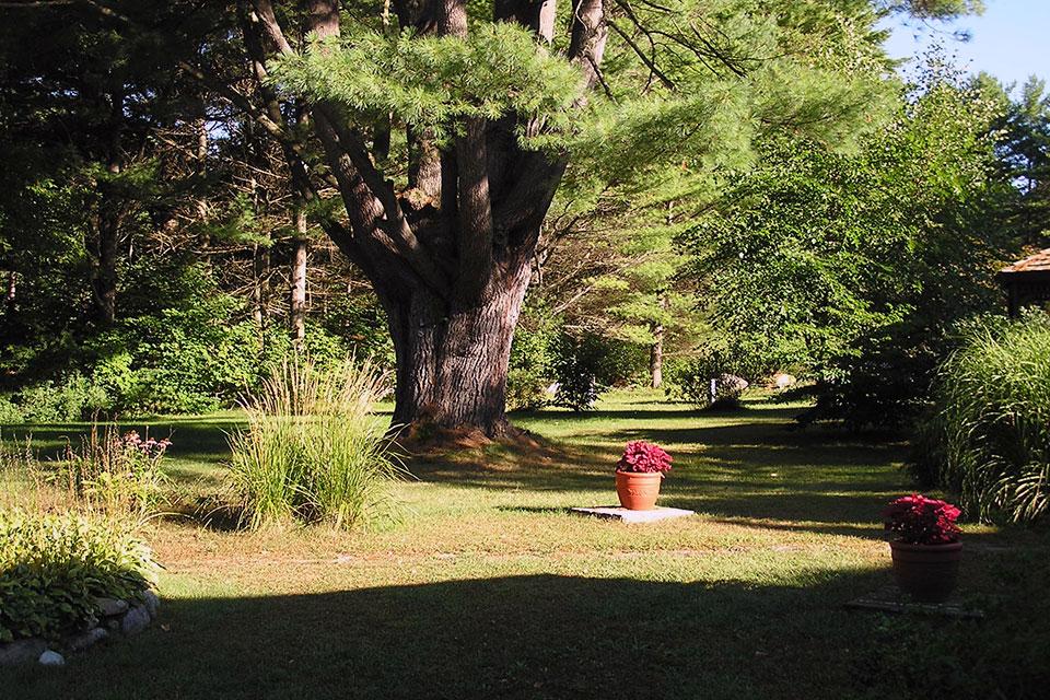 Grandmother pine